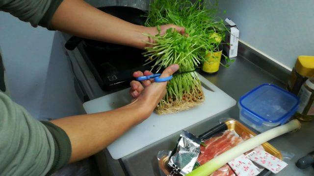 豆苗を食べずに1週間育てる観察日記まとめ+豆苗しゃぶしゃぶ鍋