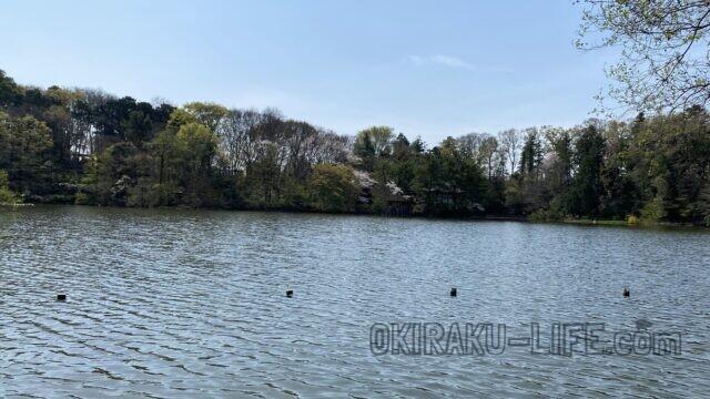 石神井公園 花見 桜